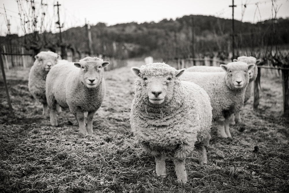 SuzanneBeckerBronk_Vineyard CRitters_Counting Sheep.jpg