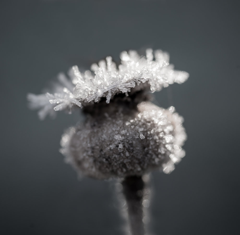 SharpCarol_Frosted Opium Poppy.jpg