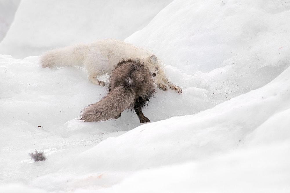Ellen_Jacob_Arctic Fading_Foxes_1.jpg
