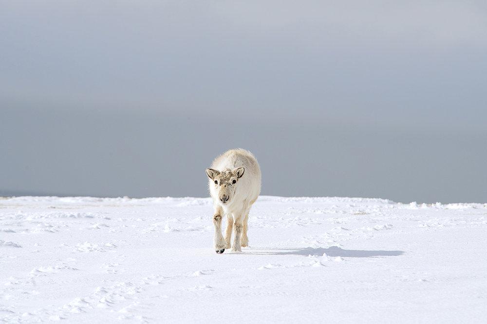 Ellen_Jacob_Arctic Fading_Reindeer_5.jpg