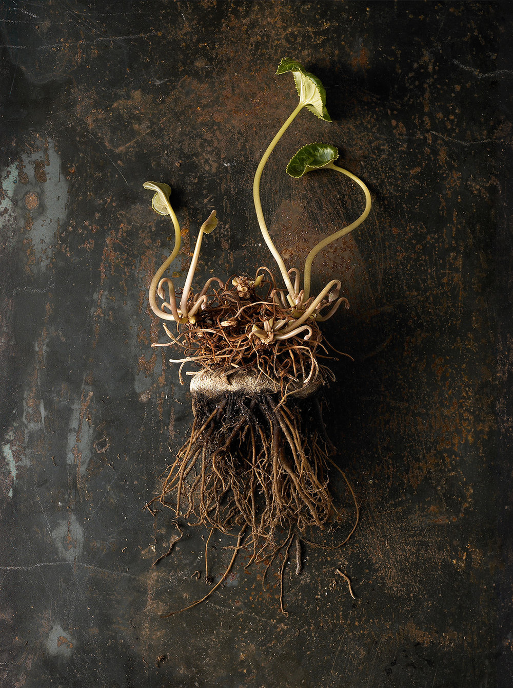 52_Beth_Galton_Roots_Cyclamen_2.jpg