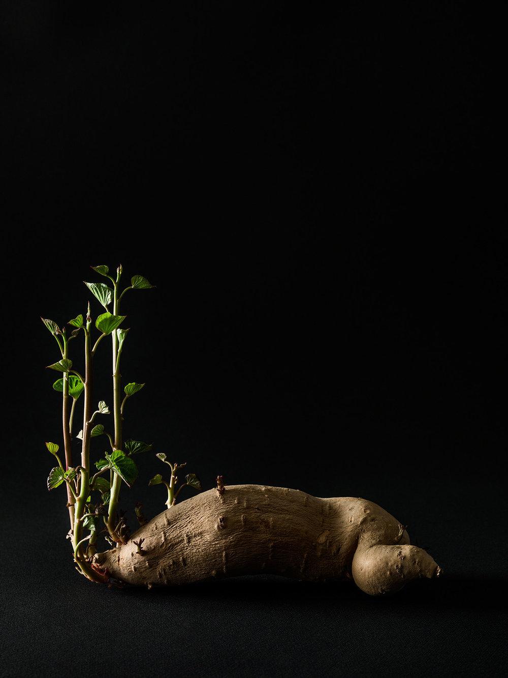 Beth_Galton_Amour_de_Pomme_de_Terre_Fingerlin_Sweet_Potato_12days_2.jpg