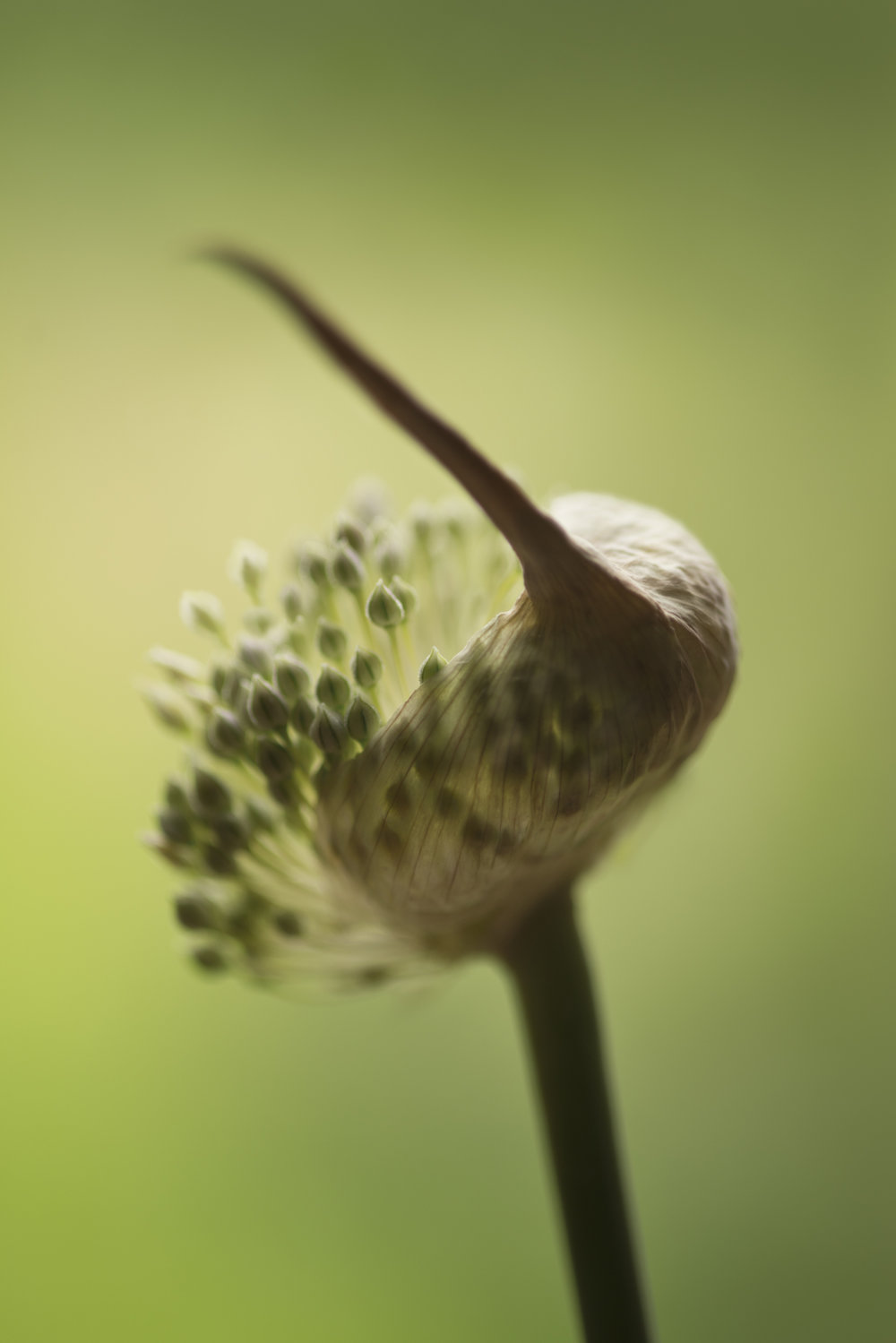Carol_Sharp_Allium emerging.jpg