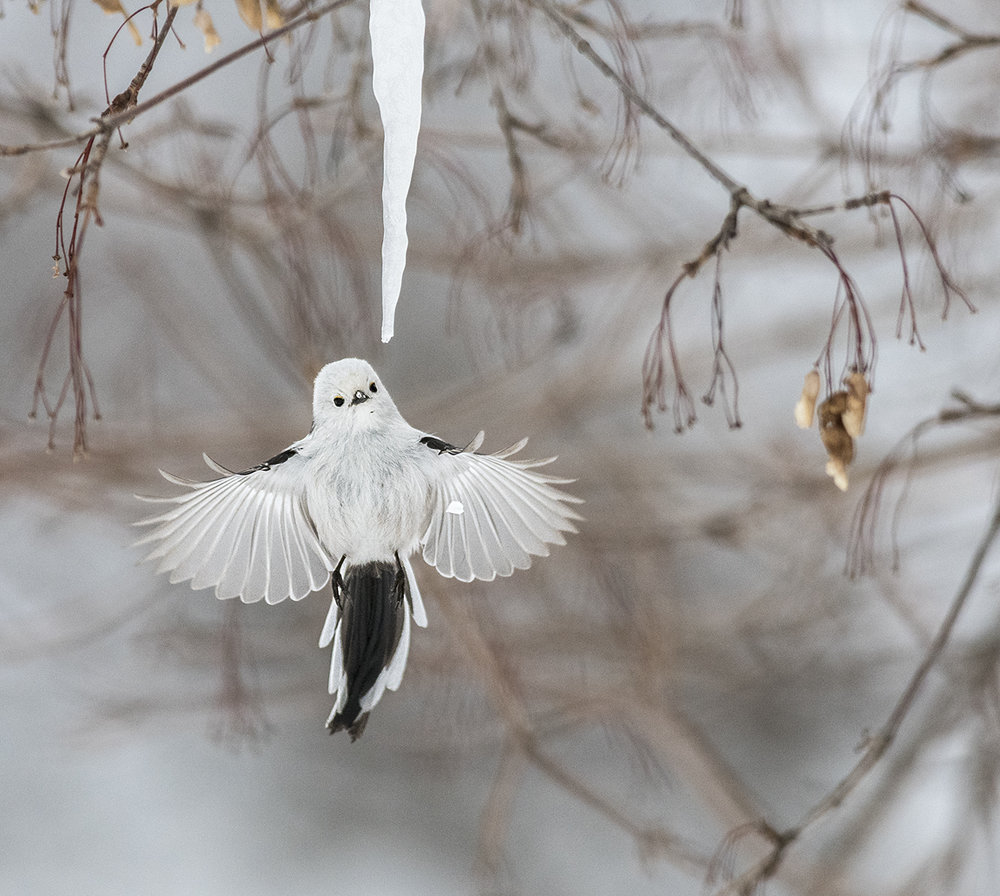 Diana_Rebman_Long-tailed Tit.jpg