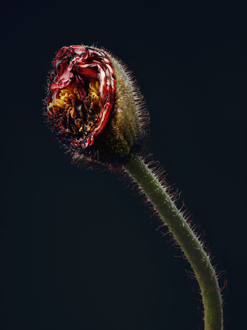Simon_Puschmann_assaulted-flowers_papaver_01.jpg