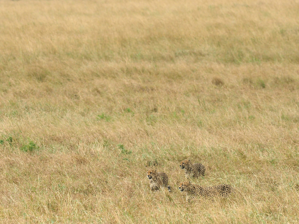 Ranjan_Ramchandani_Cheetahs in the Savannah.jpg