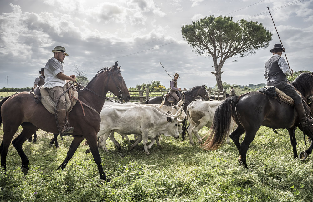Gabrielle_Saveri_Italian Cowboys of Maremma_Italian Cowboys Herding Cattle.jpeg
