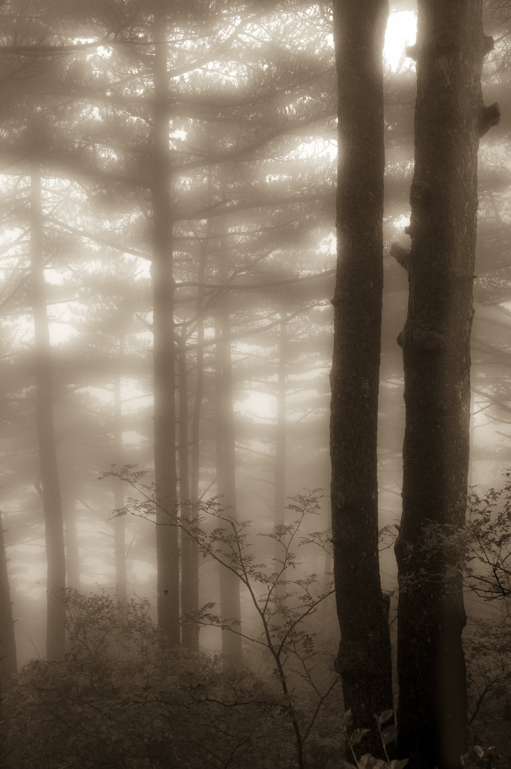 Carol_Horigan_Forest Shrouded in Mist-2V.jpg