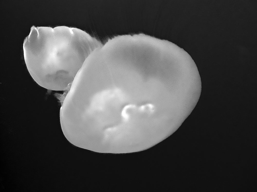 David_Vogel_MONTEREY JELLYFISH IV.jpg
