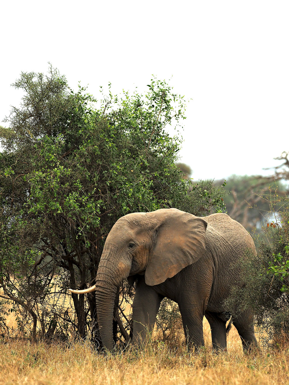 Ranjan_Ramchandani_Elephants of Amboseli_The single tusked one.jpg