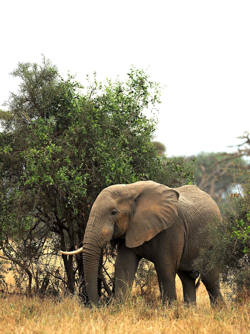Ranjan_Ramchandani_Elephants of Amboseli_The single tusked one.jpg