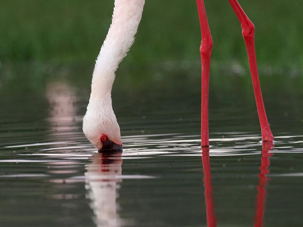 Ranjan_Ramchandani_A Flamingo feeding itself.jpg