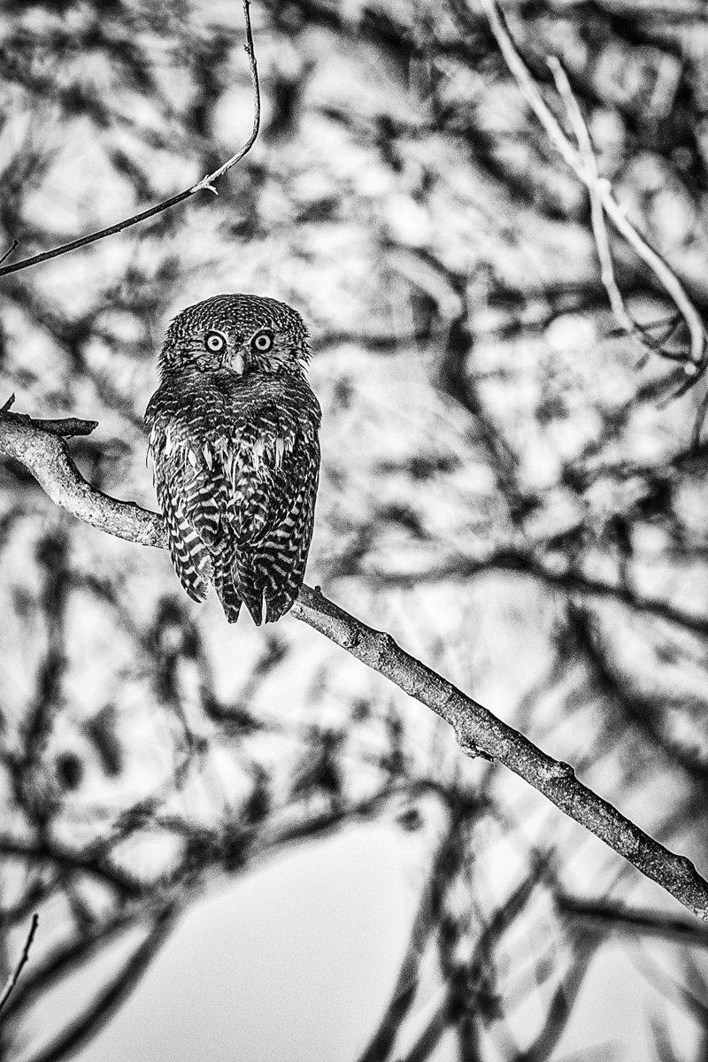 Xtina_Parks_african barred owlet.jpg