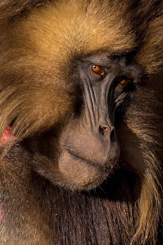 miriam_ramalho_Gelada Monkey_01.jpg