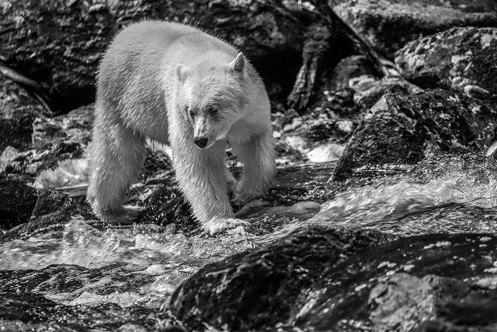 Edie_Swift_The Spirit Bear.jpg.72.jpg