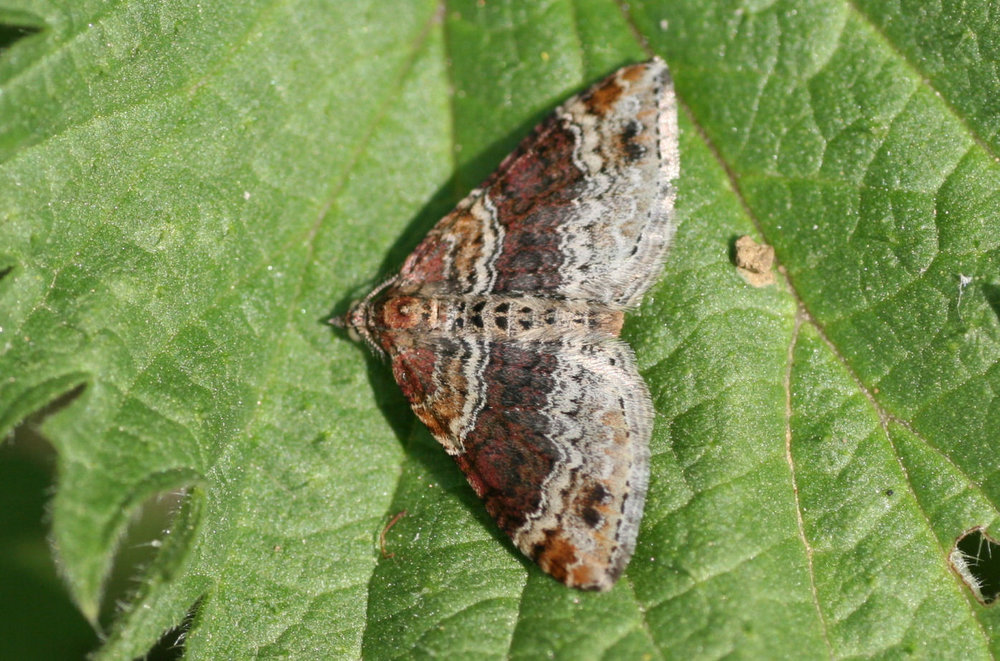 Moths & Micromoths  - There are over 2500 species of moths in Britain and have an important role in our wildlife ecosystem.