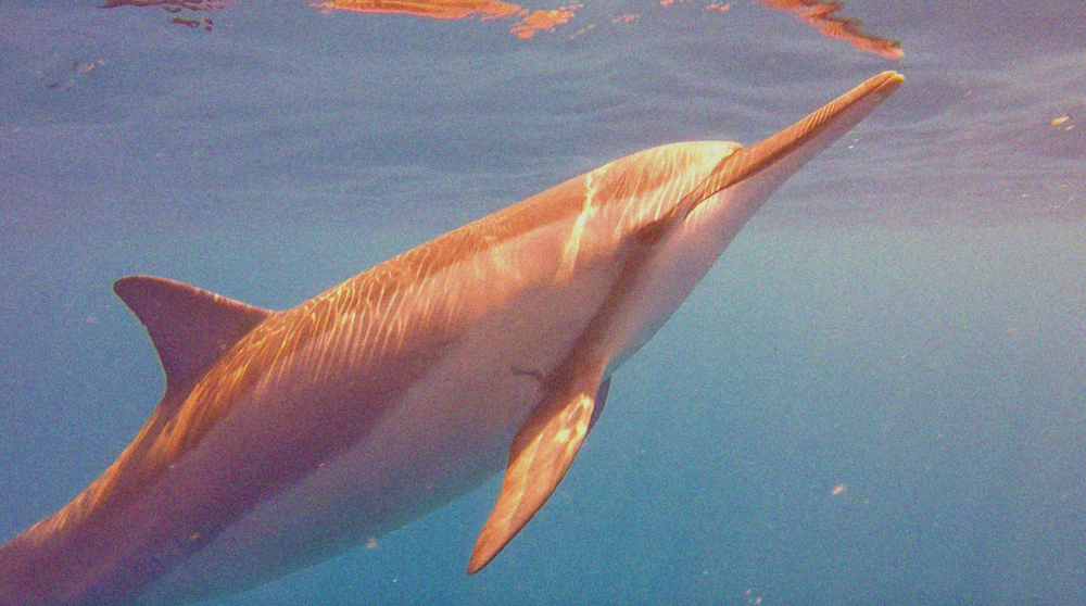 Intergalactic Spinner Dolphin