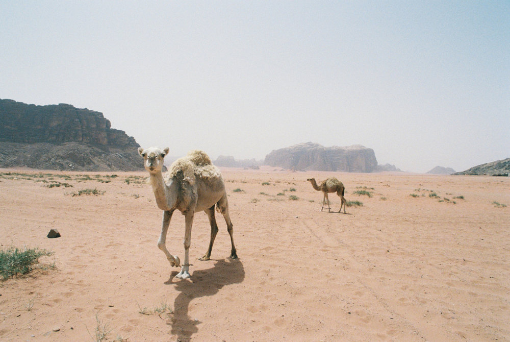 A mother camel and her calf wander near the village of Wadi Rum.