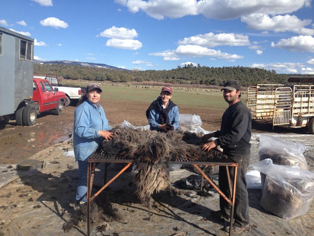 Skirting freshly shorn fleeces