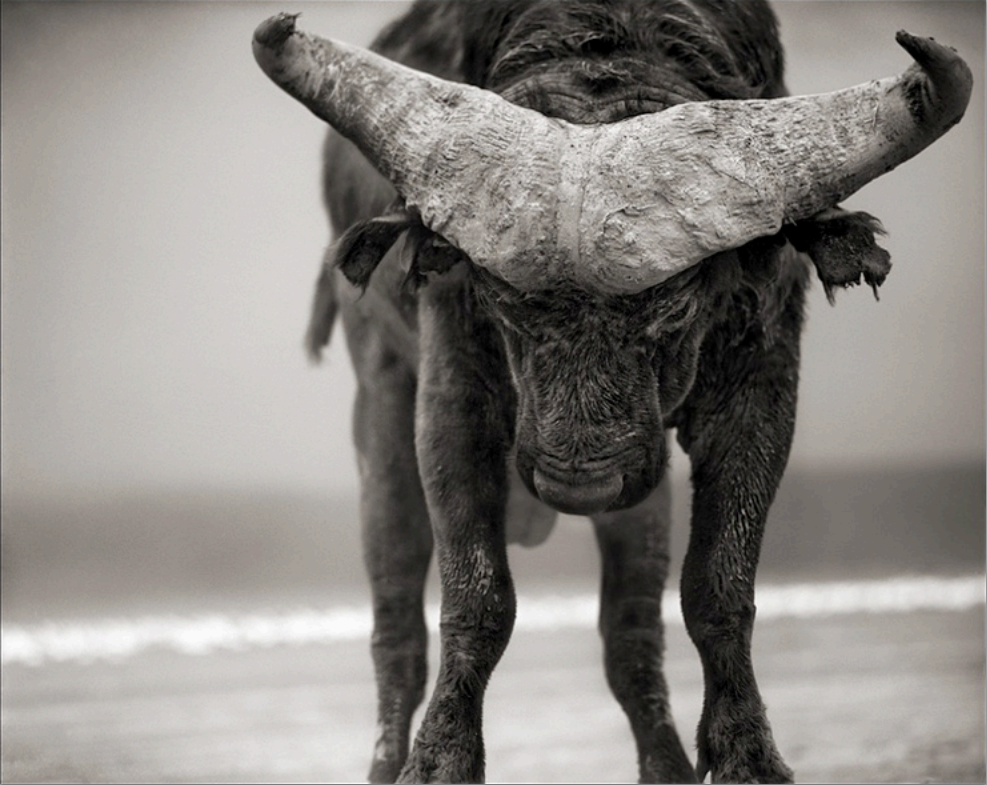 Buffalo with lowered head, amboseli 2007 - Archival pigment print21 x 26 inches, signed edition of 25inquire for pricing