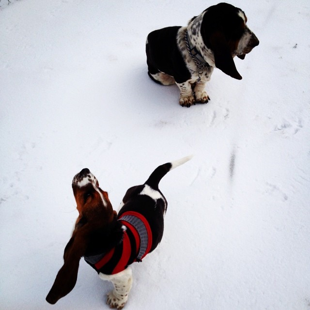 #instagramcatchup #hot_hounds #heathers_hounds #heartoftexashounds #europeanbassethound #maplestreetisitlove #bassethound #bassethoundinsnow #snow #dog #heartoftexasbassets #updatessoon