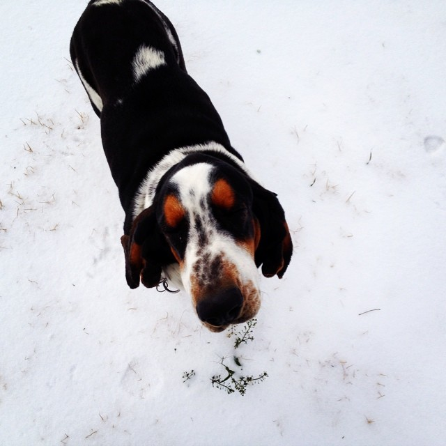 #instagramcatchup #hot_hounds #heathers_hounds #heartoftexashounds #HeartOfTexasBassets #MapleStreetIsItLove #Journey #bassethound #bassethoundinsnow #europeanbassethound #staytunedwebsiteinprogress #updatessoon