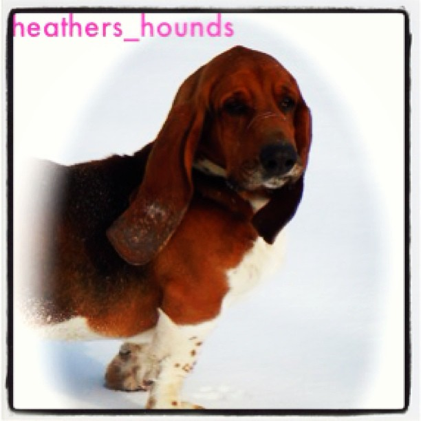first Basset love #heathers_hounds #hounddog #bassethound #heathers_hounds-HeartofTXBassetHounds