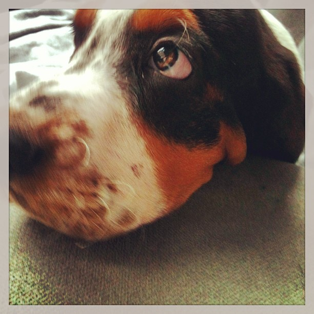Don't give me that look!;) #hounddog #bassethound#heathers_hounds-heartoftexasbassethounds