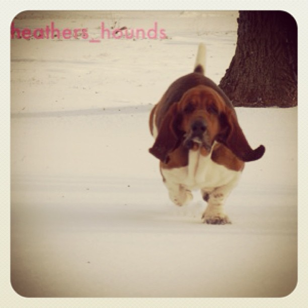 Bounce #Heathers_Hounds#heathers_hounds-HeartofTXBassetHounds