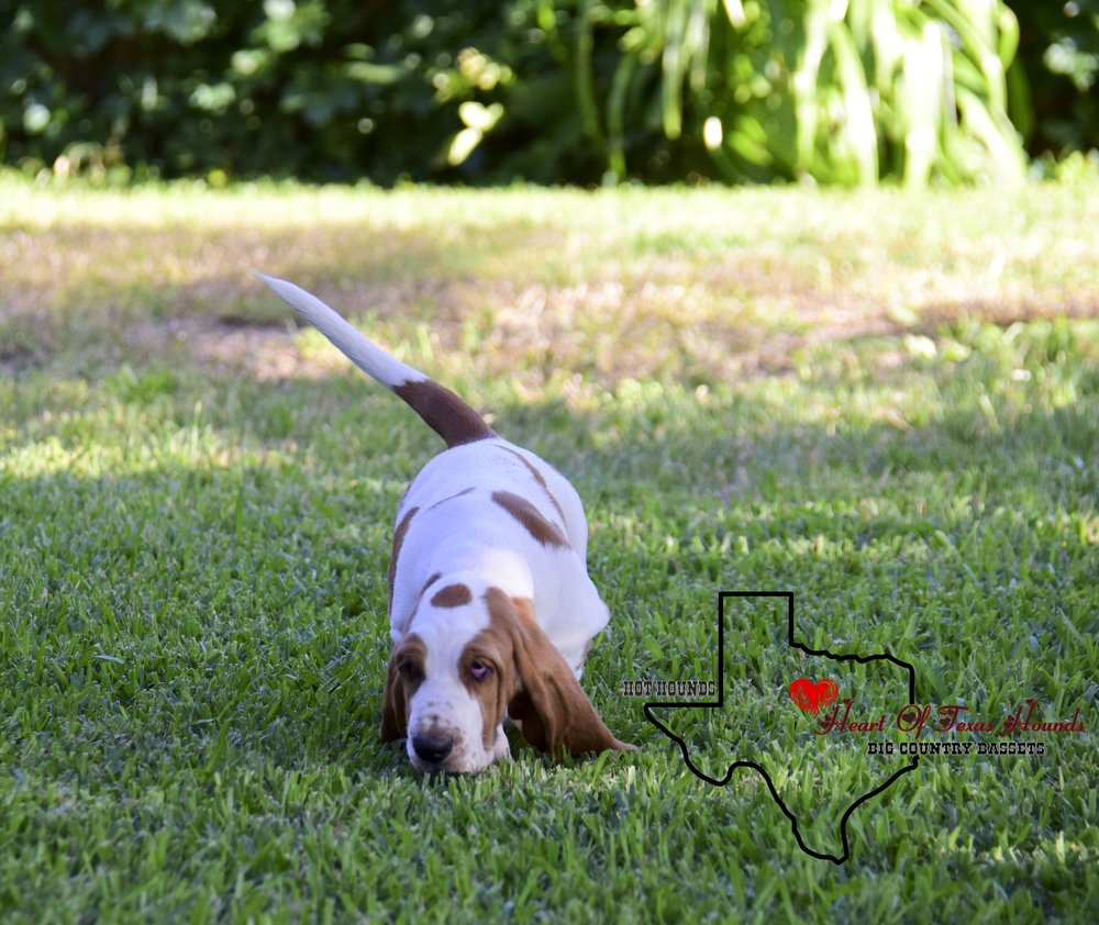 Heart Of Texas Ain't No Sunshine - HEART OF TEXAS AIN'T NO SUNSHINE               ( AKA - SUNNY ) FEMALE BORN MARCH 10 2017 MAPLE STREET JAMIMA X MAPLE STREET IS IT LOVE?BORN AND RAISED HERE AT HOT HOUNDSWILL REMAIN FOR FUTURE BREEDING PROSPECT