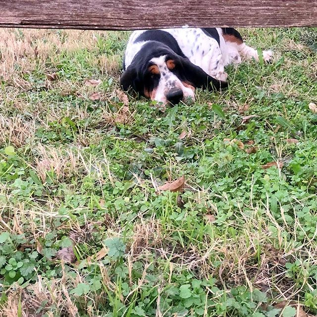 When you think your hiding because you've been naughty🙈  2/365 #2/365 #bassetcrawl #bassethound #hounddog #hound #hothounds #heartoftexashounds #hushpuppy #basset #photooftheday #dog #basset