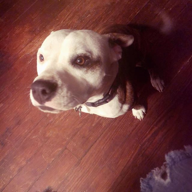 Not a Basset, but one I love💕 #JuneBug @junebug_gosnell  One of my Sons dogs that I keep a lot. 3/365 #3/365  #pitbull #photooftheday #dogs #pit #sweetandstubborn