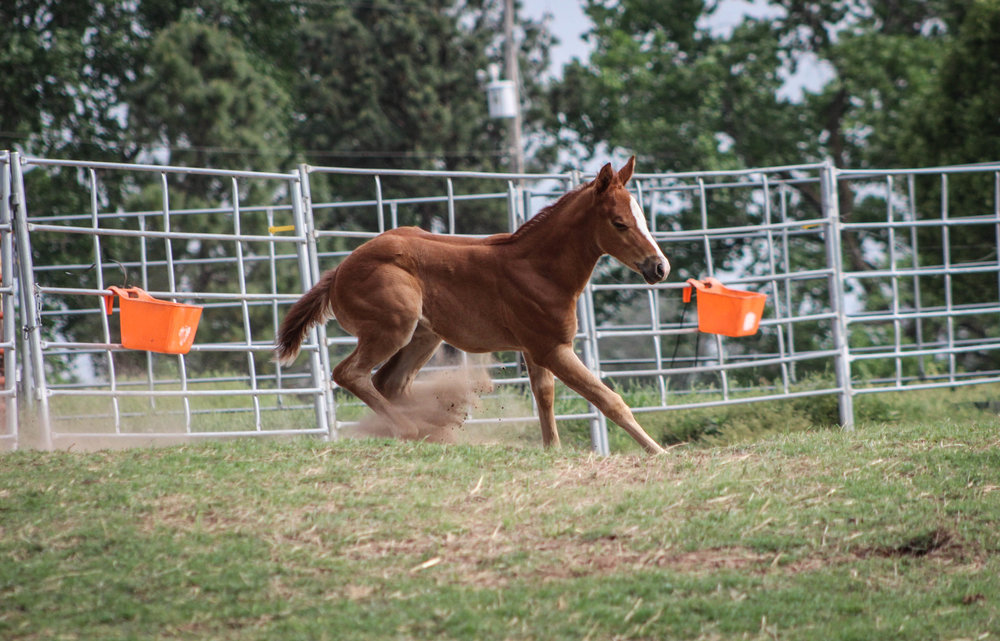Already practicing her barrel turns <3 #Smitten #BabyBarrelHorse