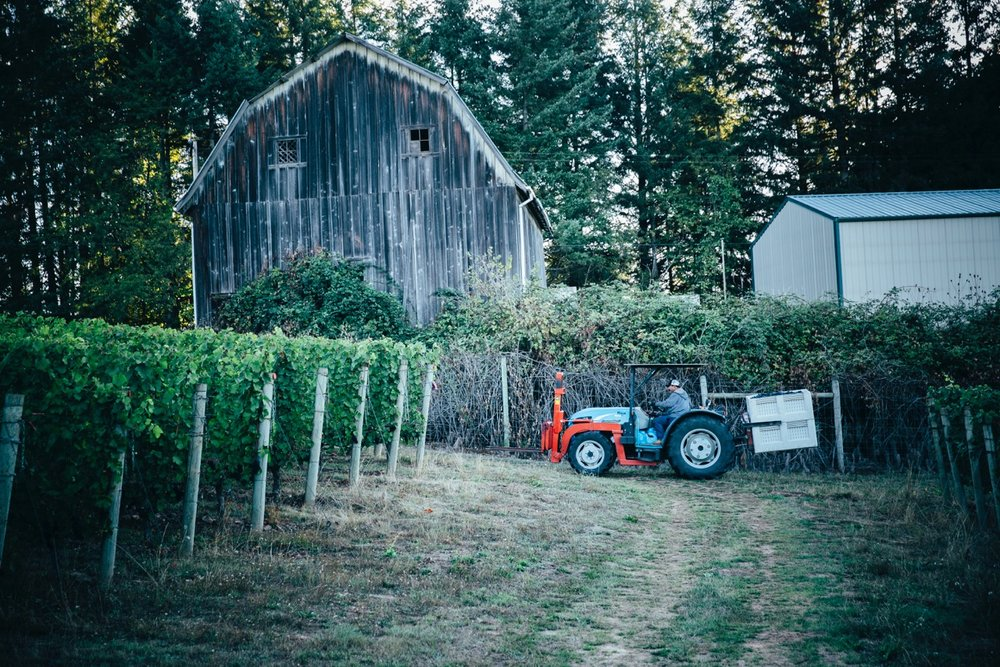 Tractor in Vineyard for Adelsheim Harvest