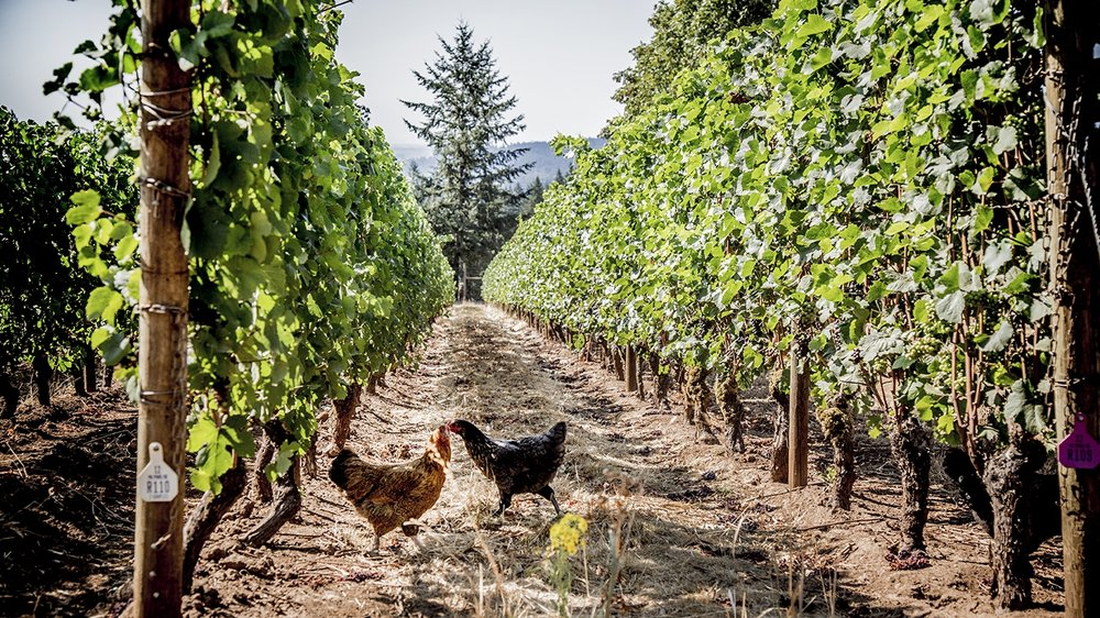 Chickens Walking Through Adelsheim Vineyard