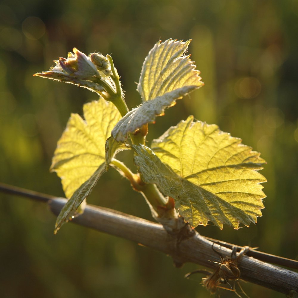 Wine Event - From Bud Break to Harvest
