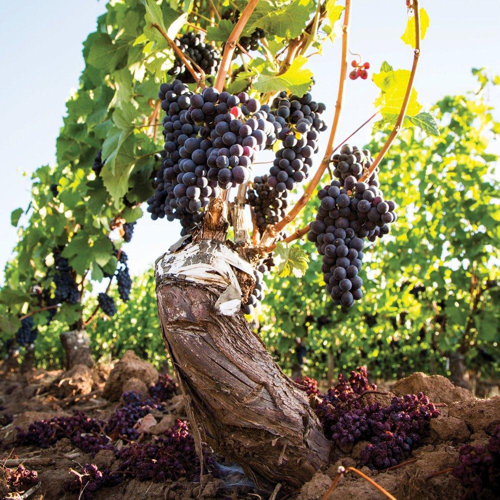 Old-Vines_Own-Rooted-Pommard-Pinot_Charles-Gullung.jpg