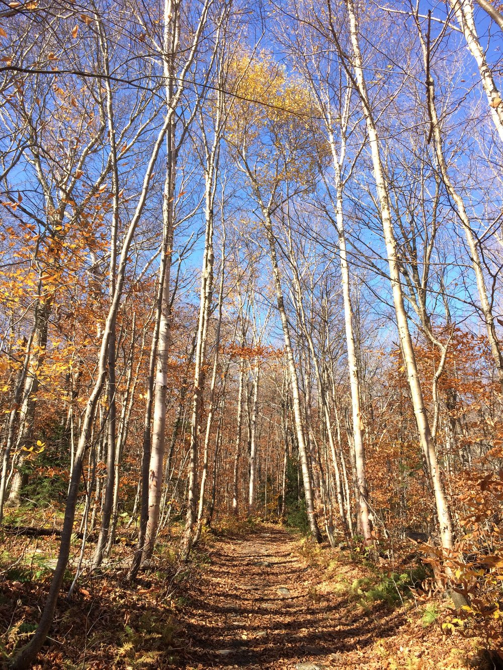 Beautiful birch trees along the trail
