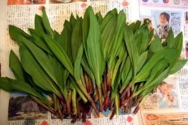 Allium_victorialis,_edible_wild_plants,_Hokkaido_Japan.jpg