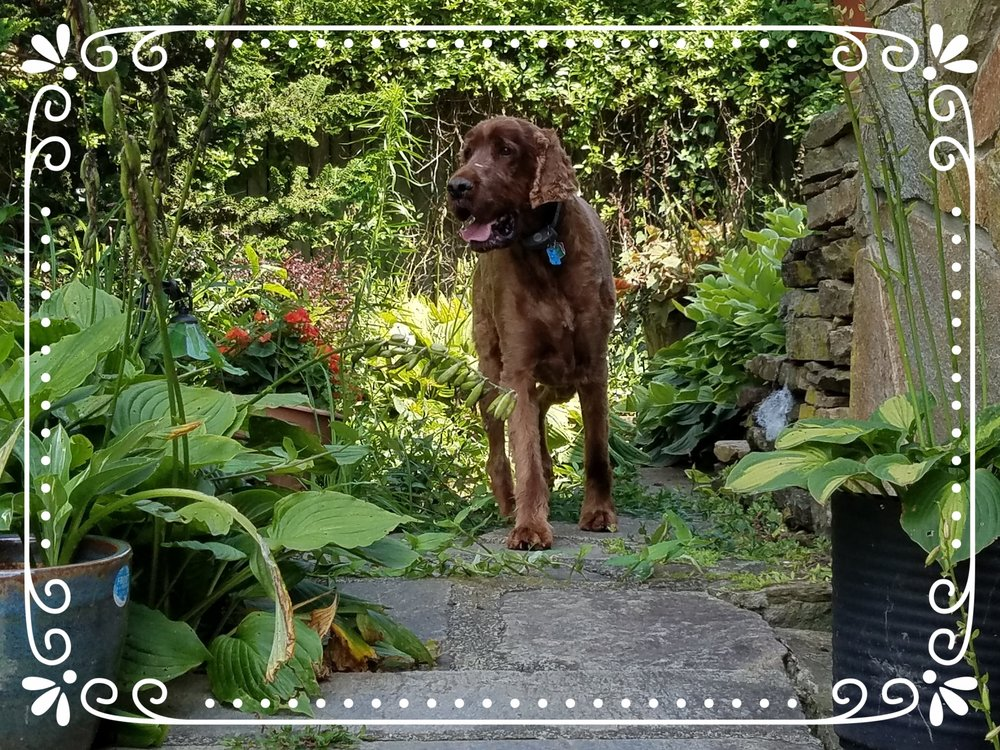 Let me introduce Walter, our highly skilled, intrepid Irish Setter!