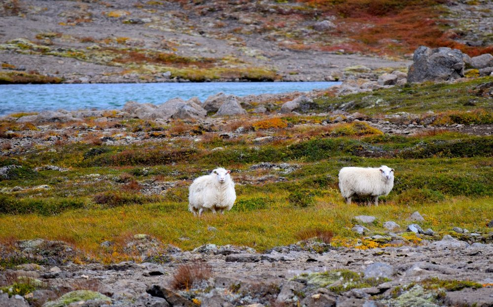 Sheep and the Autumn ground colors