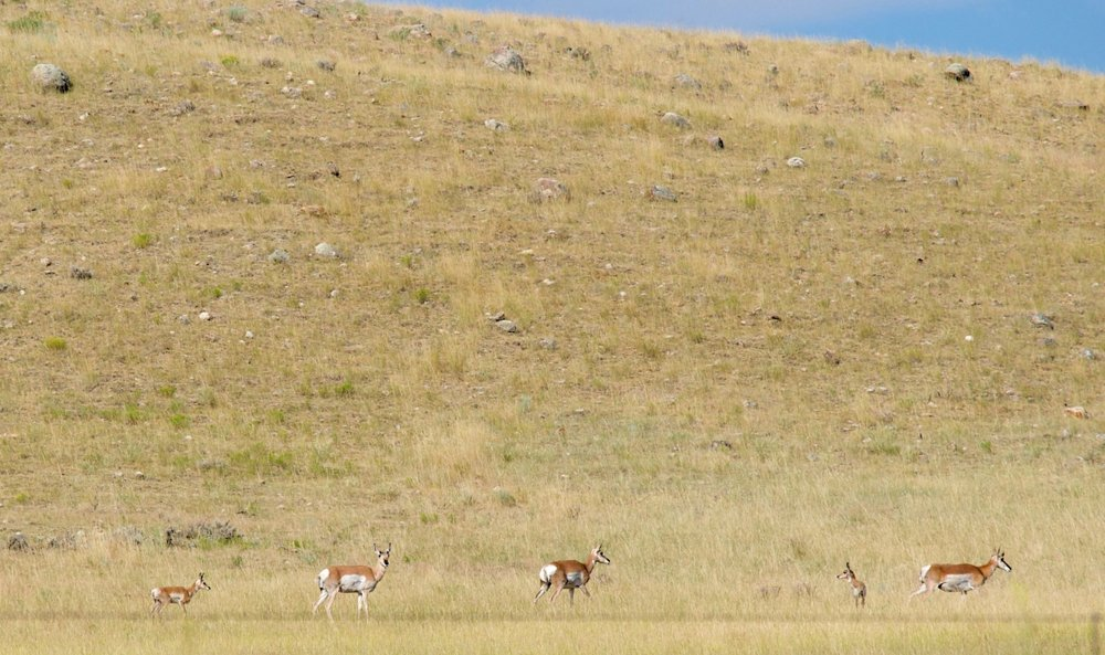 We saw tons of pronghorns!