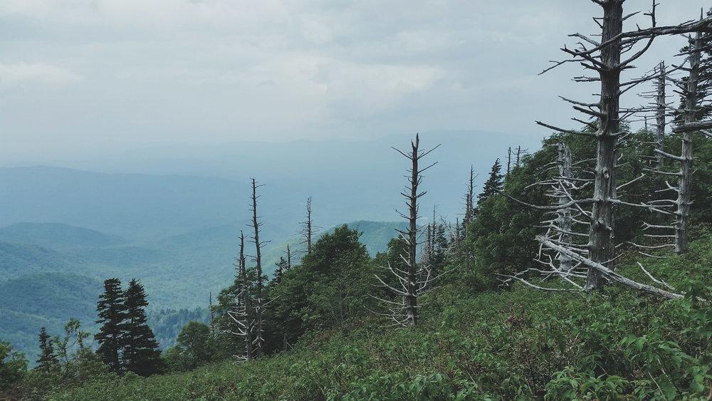 dead pines II.jpg