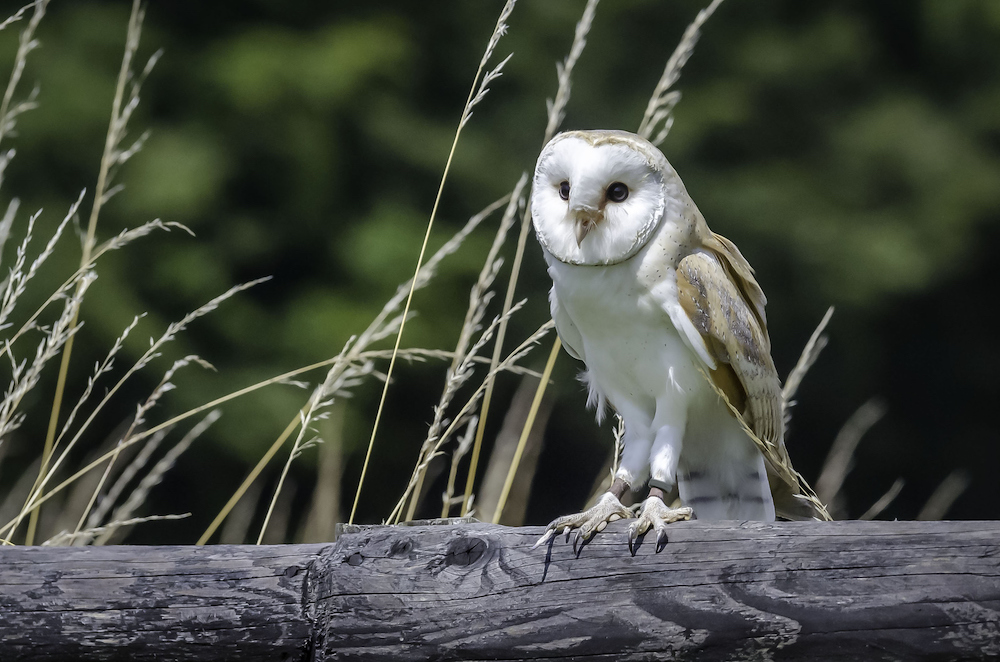 Snowy owls have been spotted in the region in recent years.