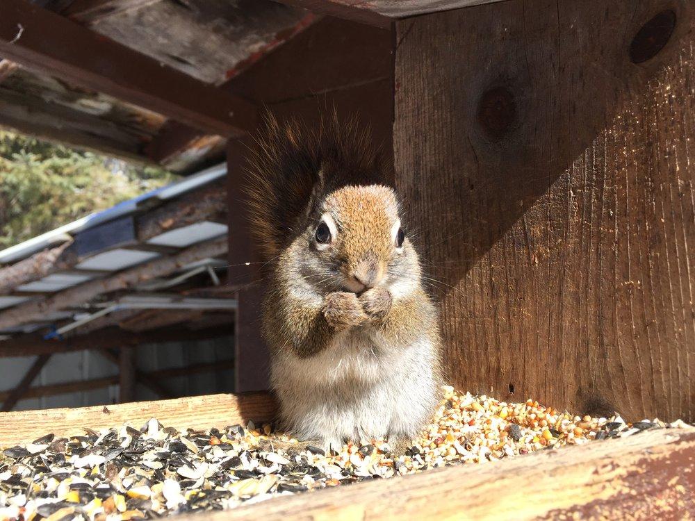 écureuil-abitibi-temiscamingue