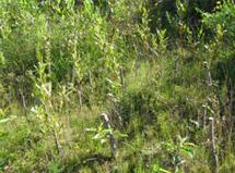 Reprise des fagots de branches, des boutures et du semis 3 mois après les travaux