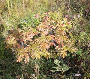 Rosier rugueux 3 ans après la plantation (ferme Témistar)