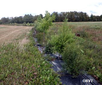 Haie brise-vent 3 ans après la plantation (ferme Témistar)