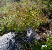 Potentille frutescente plantée sans plastique, 3 ans après la plantation (ferme Témistar)