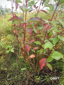 Bouture de cornouiller 3 ans après la plantation (ferme Valjack)